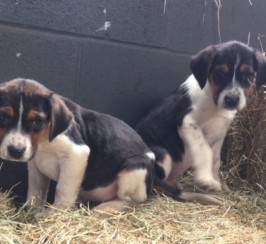 Beagle Pups. Ready To Leave