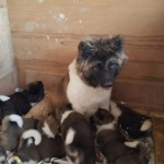 Bear Head Akita Puppies