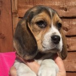 Litter Of Fab Female Beagle Puppies