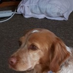 6 Year Old Brittany Spaniel