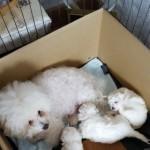 Stunning Bichon Frise Puppys