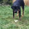 Pets  - Rottweiler 12 Months Old Male