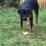 Rottweiler 12 Months Old Male
