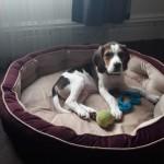Rehome Beagle