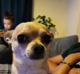 Pets  - New Forever Home Needed For Chihuahua