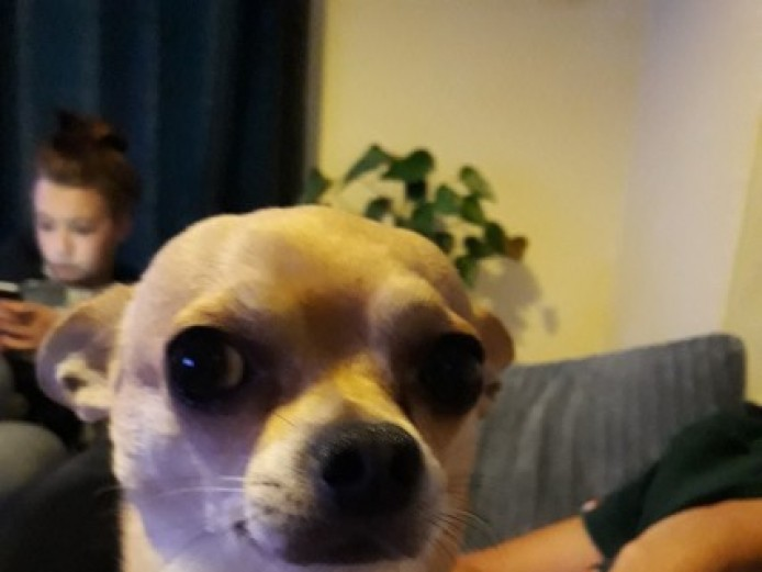 New Forever Home Needed For Chihuahua