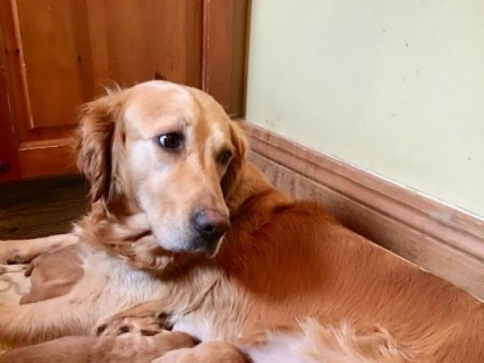 Kc Golden Retriever Puppies For Sale