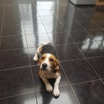 Playful Beagle For Sale