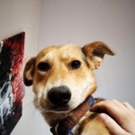Lovely Collie X Trained Boy Seeks Forever Home