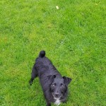 Patterdale X Girl