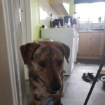 Adorable 2yr Old Rita Gsd Cross Female