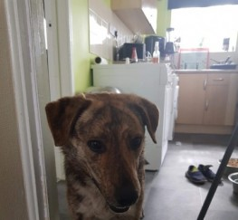 Pets  - Adorable 2yr Old Rita Gsd Cross Female