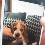 1 Beagle Boy Pup