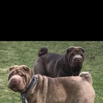 2 Chocolate Shar Peis For Rehoming