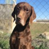Pets  - Feucho. German Pointer Male. Age 6. Sad Story