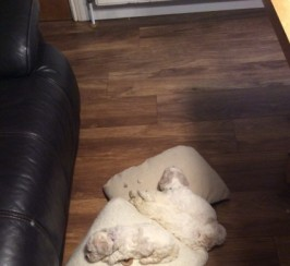 Pedigree Bichons For  Sale