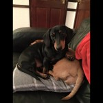 Miniature Smooth Coat Dachshund