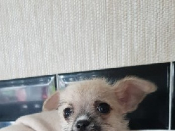 Chihuahua . Maltese