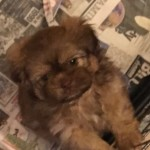 ...pure Shihzhu Babies.. .available.