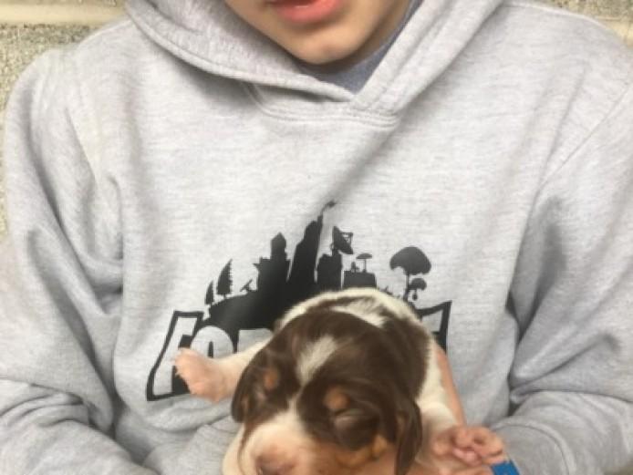Beagle X Spaniel Pups
