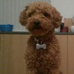Optigen Pra Dna Clear Kc Red Toy Poodle At Stud