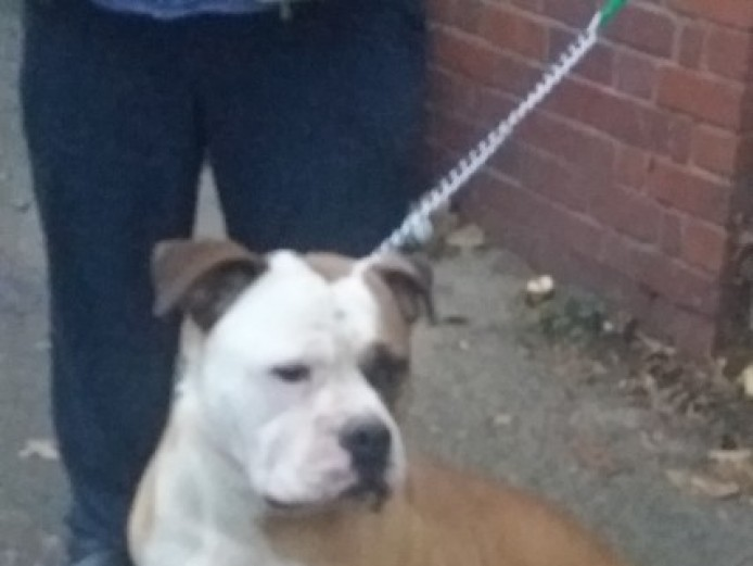 American Bulldog Up For Stud With Nkc Papers
