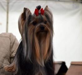 Pets  - Yorkshire Terrier For Stud Kc Reg