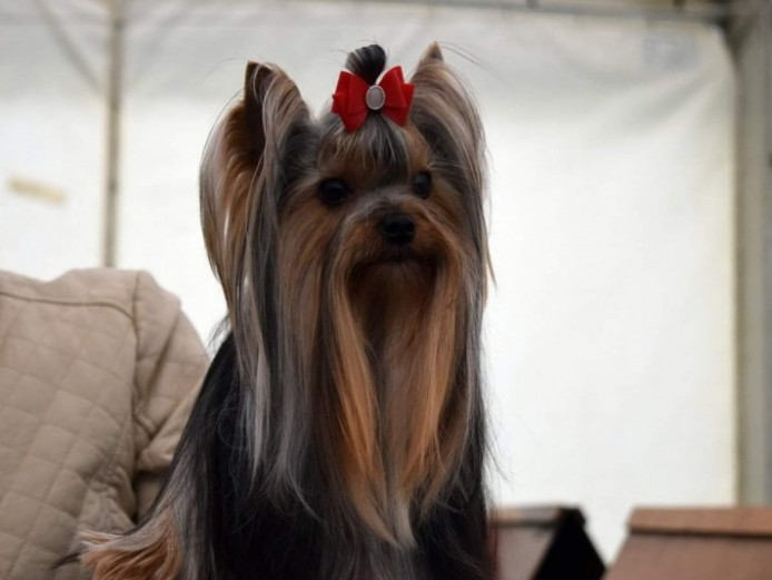Yorkshire Terrier For Stud Kc Reg