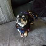 Smoothcoat Female Chihuahua