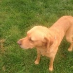 1 Kc Registered Golden Labrador Retriever Puppy