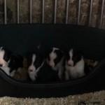 Cute. Cuddly Sheepdog Puppiesl