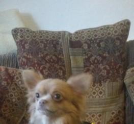 Pets  - Tiny Stunning Chocolate Fawn Long Coat Boy 4 Stud