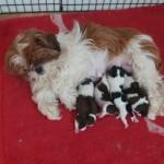 Shih Tzu Puppys
