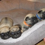 4 Kc Registered Pug Puppies Ready To Leave 2.6.18