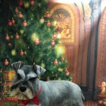 Miniature Schnauzer Kc Reg Prooven