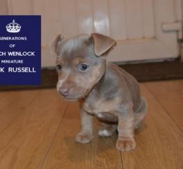 Pets  - Rare Blue .silver Miniature Jack Russells Stud Ad