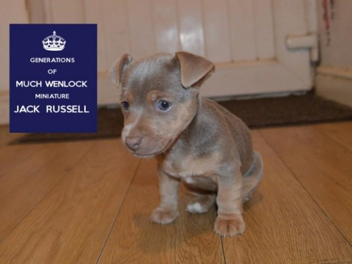 Rare Blue .silver Miniature Jack Russells Stud Ad