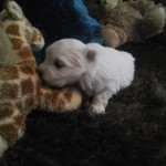 Full Kc Maltese Terrier Puppy..s