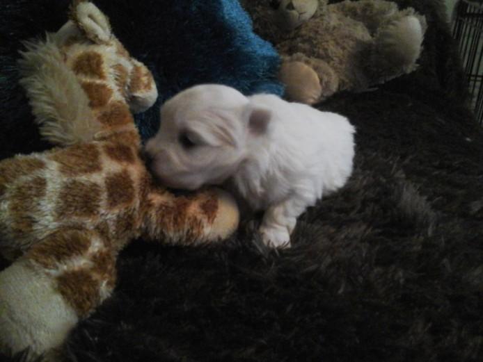 Full Kc Maltese Terrier Puppy..s