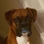 Stunning Kc Proven Boxer For Stud