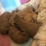 Dna Health Tested Beautiful Cavapoochons