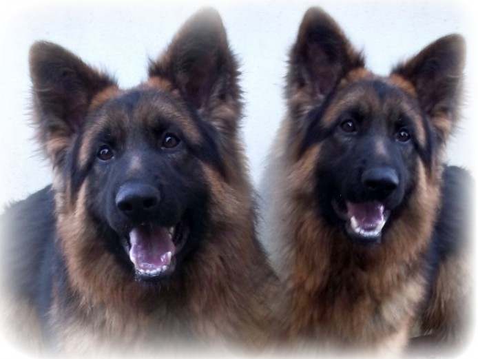 Our Stud Dogs Info On Pups Available