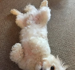 Pets  - F1 Cavachon For Stud