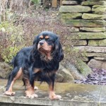 .....proven Fully Health Tested Ckc Spaniel.......