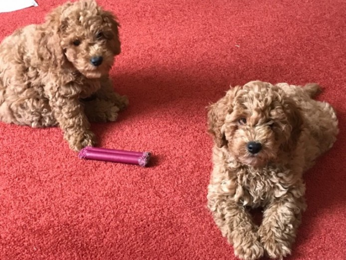 Last Two Red Cavapoo Girls Available .felixstow
