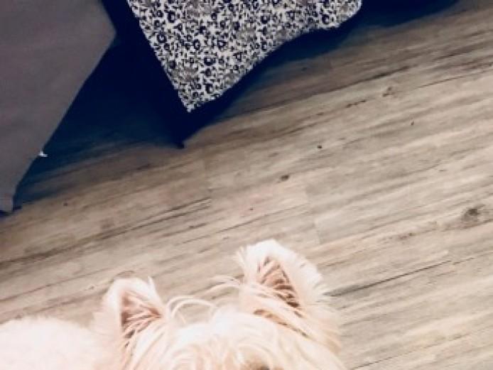 West Highland Terrier For Stud