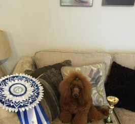 Deep Red Toy Poodle Stud Crufts Qualified