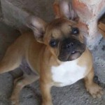 Stunning French Bulldog Male