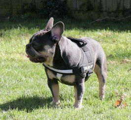 Blue And Tan Stud Blue Tan Boy . Chocolate Carrier