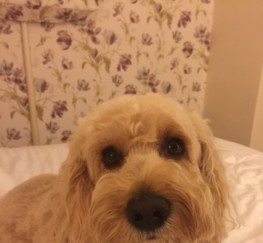 Pets  - Beautiful Apricot F2 Cockapoo